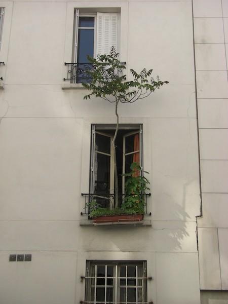 rue du borrego-tree-0528-240509