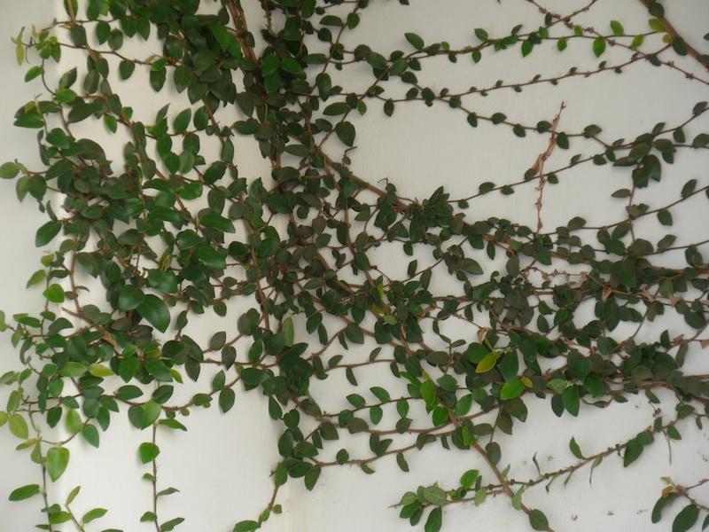 nonoti avenue-leaves-1000231-resized-230215